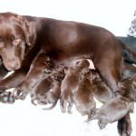 Chocolate Labrador Puppies 1
