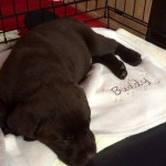 chocolate-labrador-puppy