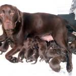 Chocolate Labrador Puppies 2