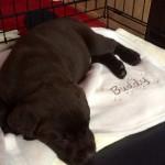 chocolate-labrador-puppy